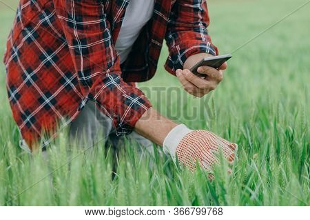 Agronomist Is Taking Picture Of Green Wheat Crops With Smartphone, Adult Male Farm Worker Using Mode
