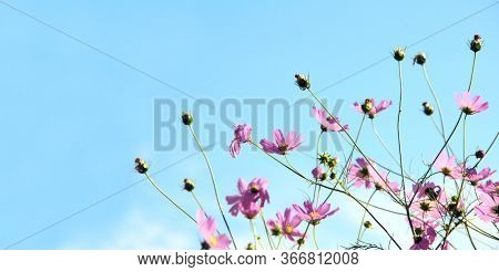 Horizontal nature banner with Cosmos bipinnatus flowers. Pink cosmos flowers on blue sky background. Copy space for text