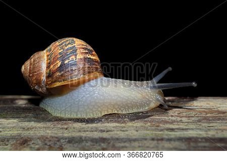 Nocturnal garden snail (Cornu aspersum) on the move with extended tentacles