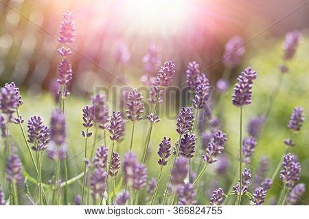 Lavender Flower In Flower Garden, Beautiful Flowering Lavender Flowers