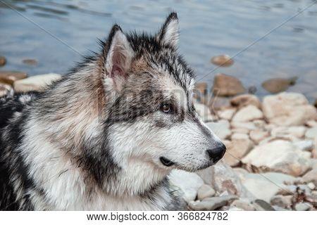 Large Dog Resting On The Nature. The Dog Looks Like A Wolf. Malamute Closeup.