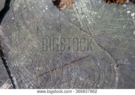 Big Old Rotten Dirty Gray Firewood, Log, Stocks. The Photo Was Taken On A Sunny Day In Bright Light