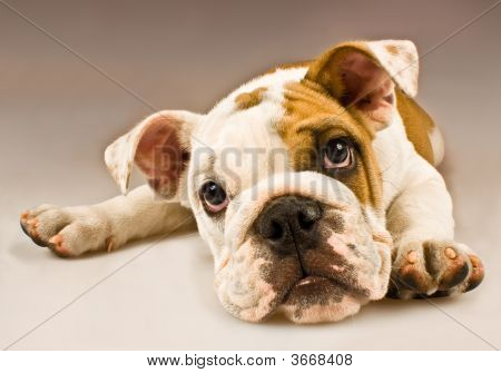 Puppy Dog Close Up