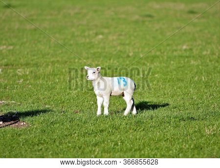 Unlucky Number Thirteen Painted On Spring Lamb In Green Field