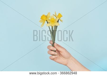 Female Hand Holding Three Little Yellow Daffodils On Blue Background. Cropped Frontal View