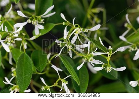 Grassleaf Spurge, Euphorbia Graminea.