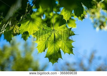 The Green Maple Leaf In The Sunlight.