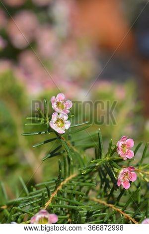 Geraldton Wax Flower My Sweet Sixteen - Latin Name - Chamelaucium Uncinatum My Sweet Sixteen