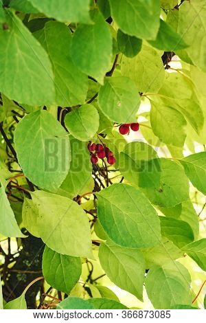 Yellow, Green Leaves And Ripe Fruits Of Schisandra Chinensis.