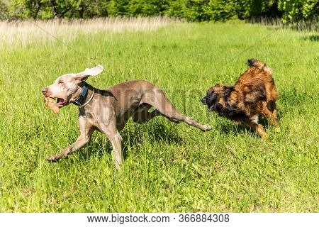 Happy Dogs Having Fun In A Meadow. Weimaraner And Sheepdog Are Running On A Green Field. Healthy And