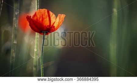 Delicate Orange Hue Of Poppy.chic Bokeh.poppy Flowers Are Attractive And Unique.delicate Orange Hue