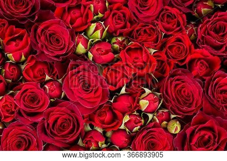Bright Background Of Beautiful Big Red Roses.