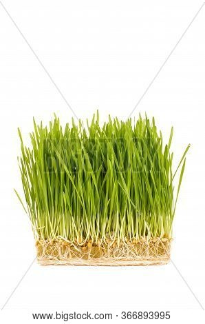Wheatgrass Isolated On The White Background