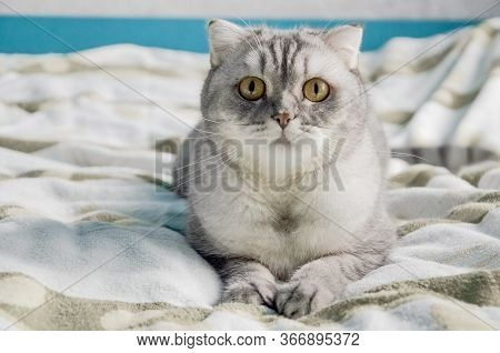 A Beautiful Fluffy Tabby Cat Lies On A Bed In A Bright Room Near The Window Of The House. Closeup Po