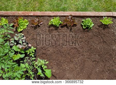 Garden vagetable patch background  with growing  lettuce and pots of tomatoes, cucumber, herbs, broccoli ready to be planted, gardening,  food growing, healthy lifestyle, self sufficient concept