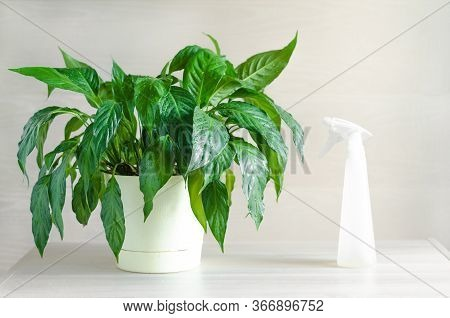 Care, Watering, Spraying Indoor Plants. Spathiphyllum Or Female Happiness. Gardening Concept At Home