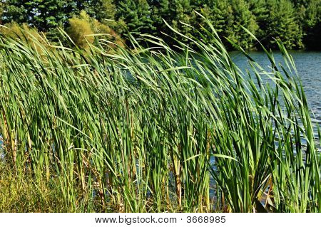 Tall Grass By The Water