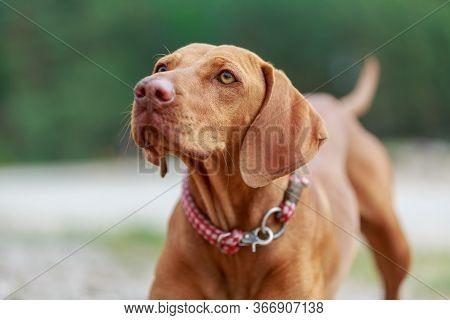 Portrait Of A Young Magyar Viszlar Dog