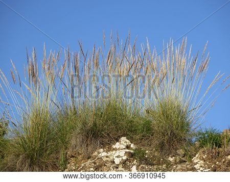 Espart Grass Against Blue Andalusian Spring Sky