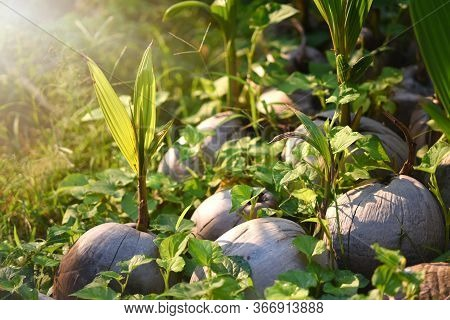 Sprout Of Coconut Tree With Green Tender Leafs And Pile Of Brown Dry Ripe And Old Coconuts On The Gr