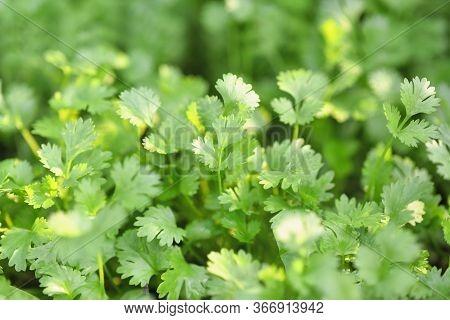 Coriander Organic Growing In The Garden In Thailand, Thai Herb Health Benefits Of Coriander. Coriand