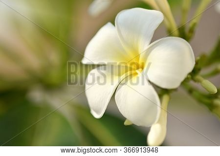 Purity Of White Plumeria Or Frangipani Flowers. Spa Flower Blossom Of Tropical Tree Spring Landscape