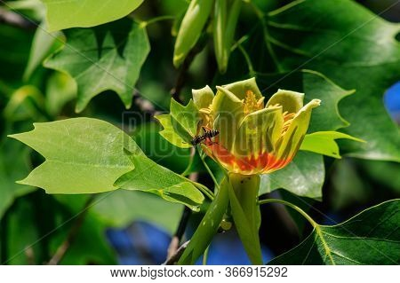 Wasp On A Flower Of A Tulip Tree