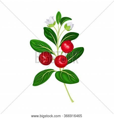 Green Branch Of Lingonberry Or Mountain Cranberry With Oval Leaves And Blooming Flowers Bearing Edib