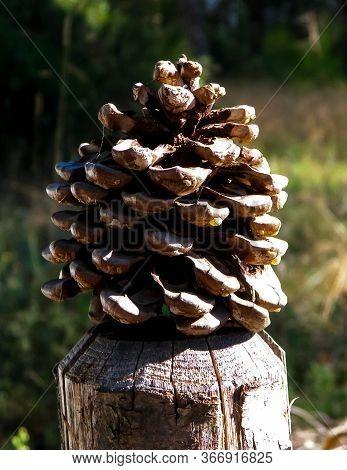 Close Up Of Pinecone. Autumn Nature Concept.