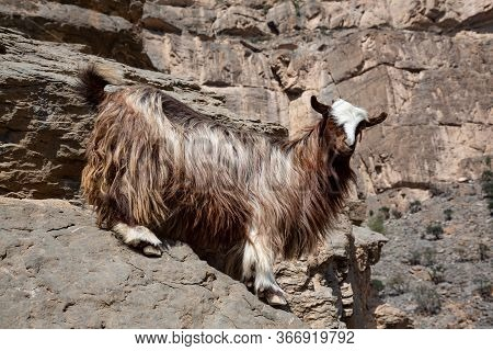 Arabian Tahr Wild Mountain Goat At Balcony Walk W6, Jebel Shams, Oman
