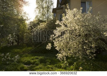 Sunlight, Rays Fall Through And Onto Flowering Gardens, Cherry, Plum And Apple Trees. The Yard Of An