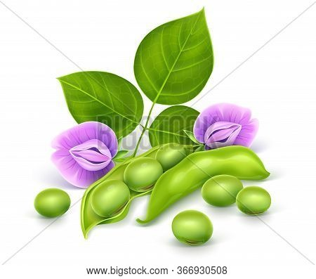 Soy Plant Beans With Green Leaves, Flowers And Pods. Realistic Vector Illustration. Isolated On Whit