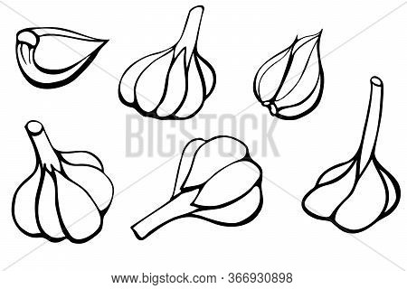 Set Of Garlic Vector Illustration, Hand Drawn With Ink Contrast Lines, Doodle Sketch Of Whole Bulbs