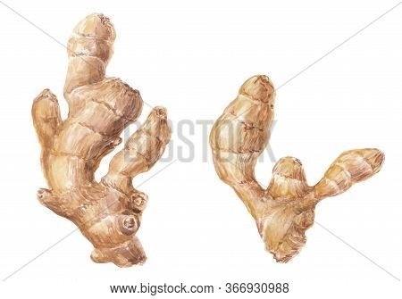Raw Ginger Root (rhizome) Watercolor Illustration - Isolated On White, Used In Alternative Medicine,