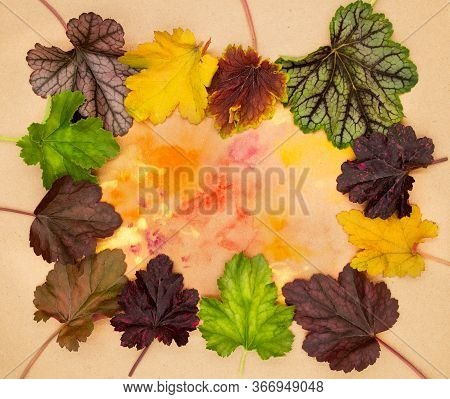 Various Types Of Coral Bells Heuchera Leaves Frosted Violet Obsidian Caramel Green Space Etc. For Or