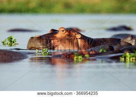 The Common Hippopotamus (hippopotamus Amphibius), Or Hippo Lying In Water. Portrait Of A Hippo Lying