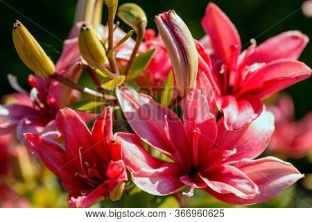 Close-up Pink Lillie Flowers On Blurred Background And Bokeh. Beautiful Pink Flower In Garden Summer