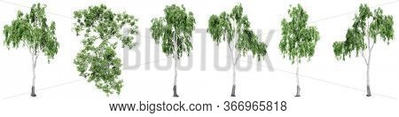 Set or collection of green birch trees isolated on white background for nature, ecology and conservation, strength and endurance, force and life