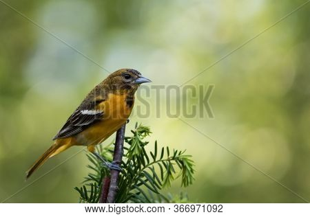 Baltimore Oriole Female, Icterus Galbula, Perched On Branch Soft Green Background