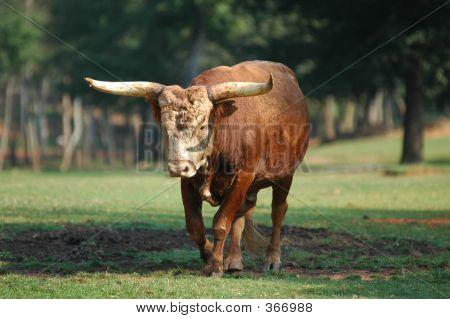Big Steer