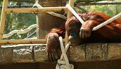 A Bornean Orangutan Pongo pygmaeus pygmaeus Stares Hauntingly from its Zoo Enclosure poster