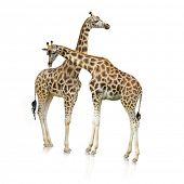 Two Giraffes Standing Together On White Background poster