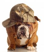 english bulldog wearing hunting cap and silly expression poster