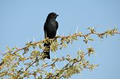 A Southern Black Flycatcher in the Kgalagadi Transfrontier Park South Africa poster