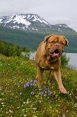 Playful dog against summer Norwegian landscape poster