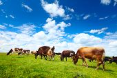 Cows grazing on a green summer meadow at sunny day poster
