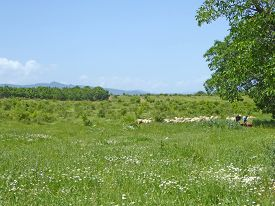 Flock Of Sheep In A Meadow In Central Bulgaria