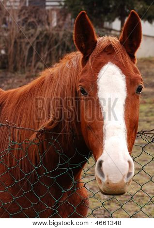 Horse With White Forehead