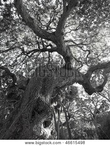 Gnarly Florida Oak