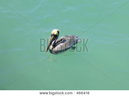 Pelican In Florida Waters